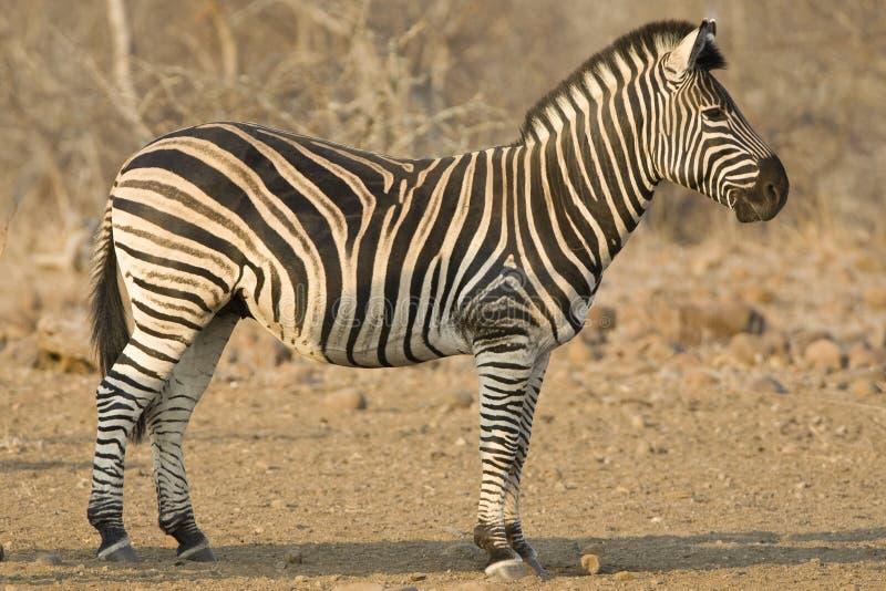 Steppezebra, plaines zèbre, quagga d'Equus photo libre de droits