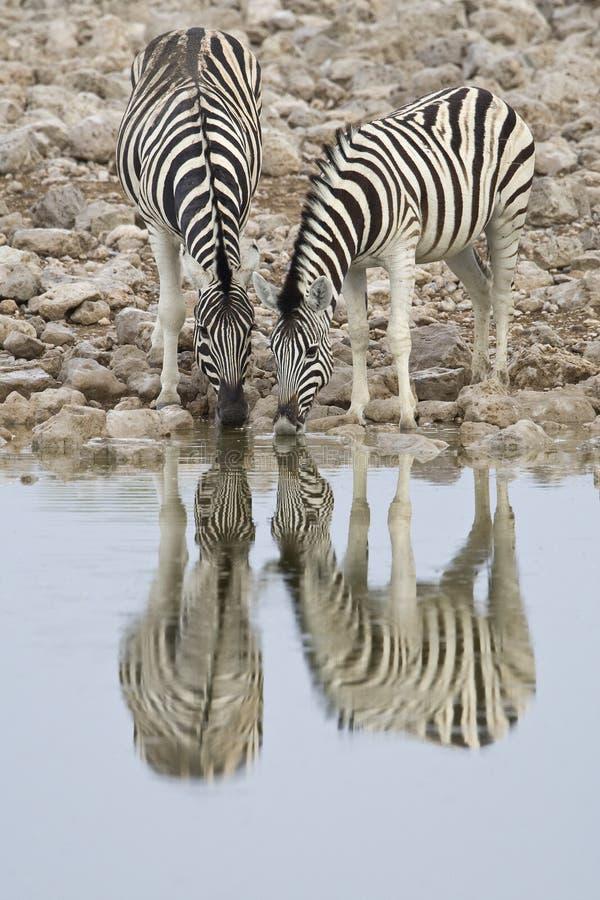 Steppezebra, planícies zebra, quagga do Equus fotos de stock royalty free