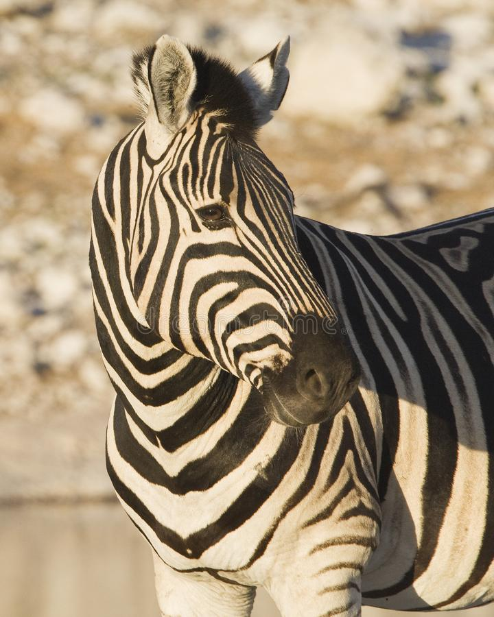 Steppezebra, równiny zebry, Equus kwaga obrazy stock