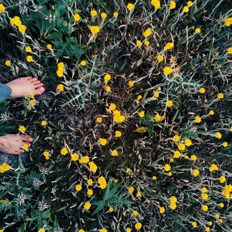 Wild yellow flowers in spring. royalty free stock photography