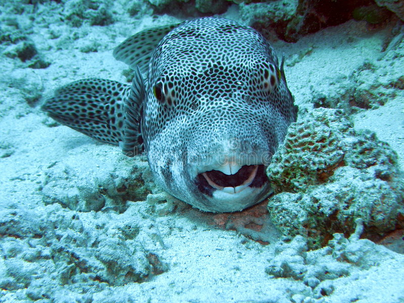 Ster Pufferfish Egypte royalty-vrije stock fotografie