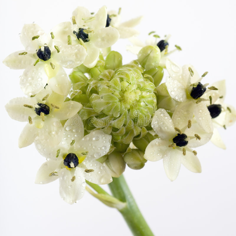 Ster van bethlehem bloem royalty-vrije stock foto's