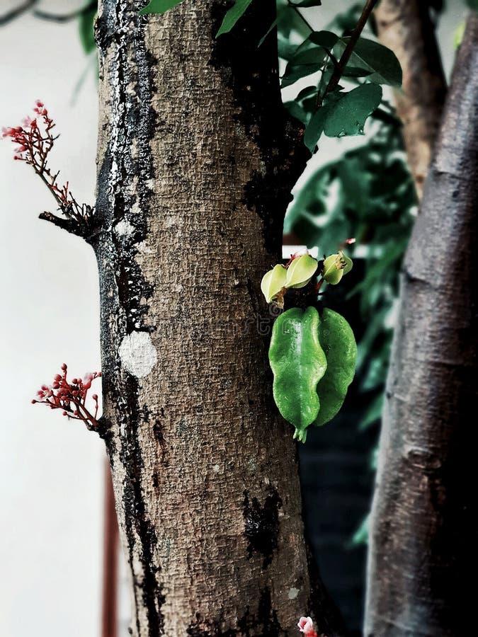 Ster-vruchten, tropische vruchten, tropische planten, Thailand royalty-vrije stock foto