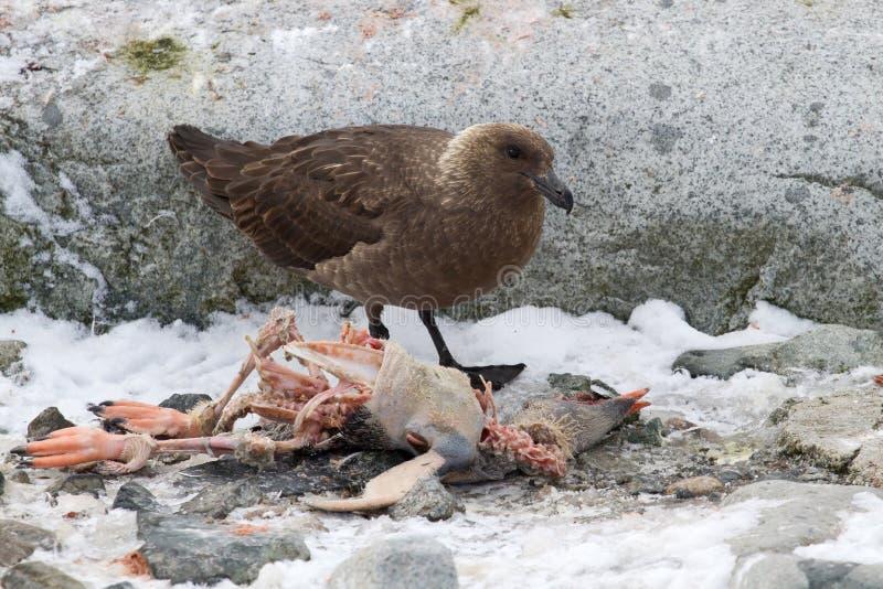 Stercoraire polaire du sud qui mange le pingouin mort de Gentoo image libre de droits