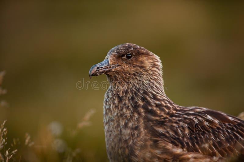 Stercorario dello Stercorarius Isola di Runde La fauna selvatica della Norvegia Bella maschera A partire dalla vita degli uccelli immagine stock libera da diritti