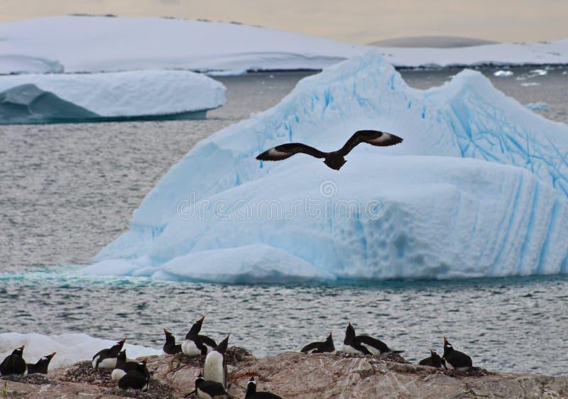 Stercorario di Brown che insegue Gentoos, Antartide immagini stock libere da diritti