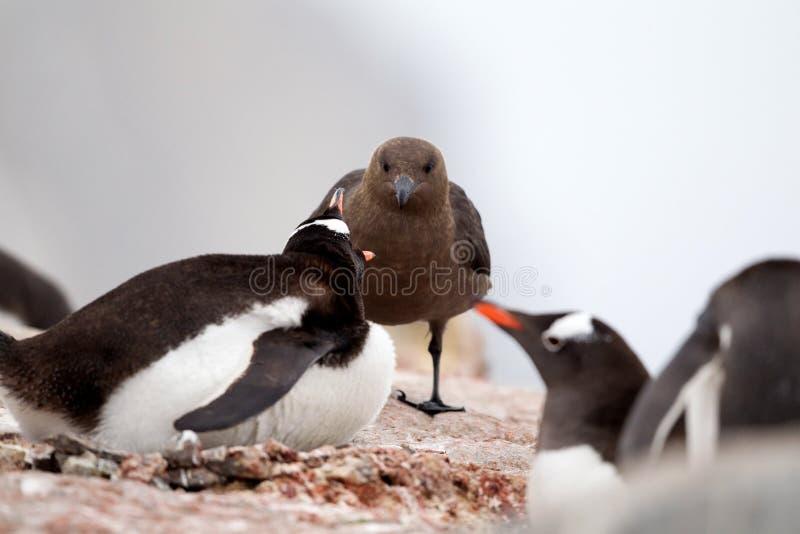 Stercorario e pinguino di Gentoo fotografia stock