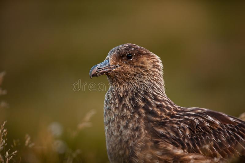 Stercorarius skua. Runde Island. Norway`s wildlife. Beautiful picture. From the life of birds. Free nature. Runde Island in Norway. Scandinavian wildlife royalty free stock image