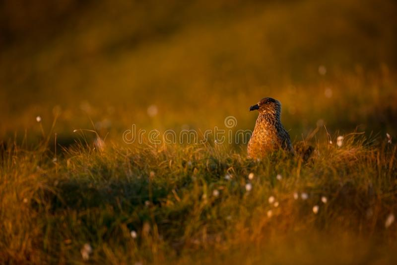 Stercorarius skua. Runde Island. Norway`s wildlife. Beautiful picture. From the life of birds. Free nature. Runde Island in Norway. Scandinavian wildlife royalty free stock photography