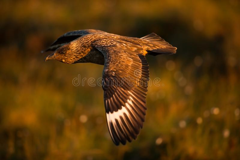 Stercorarius skua. Runde Island. Norway`s wildlife. Beautiful picture. From the life of birds. Free nature. Runde Island in Norway. Scandinavian wildlife royalty free stock photos