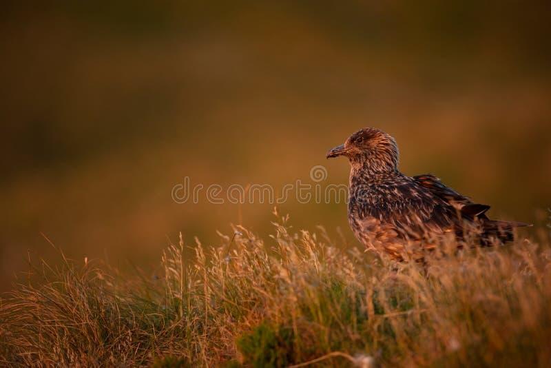 Stercorarius wydrzyk Runde wyspa Norwegia przyroda pi?kny obrazek Od ?ycia ptaki wolna od natury Runde wyspa w Norwegia obrazy stock