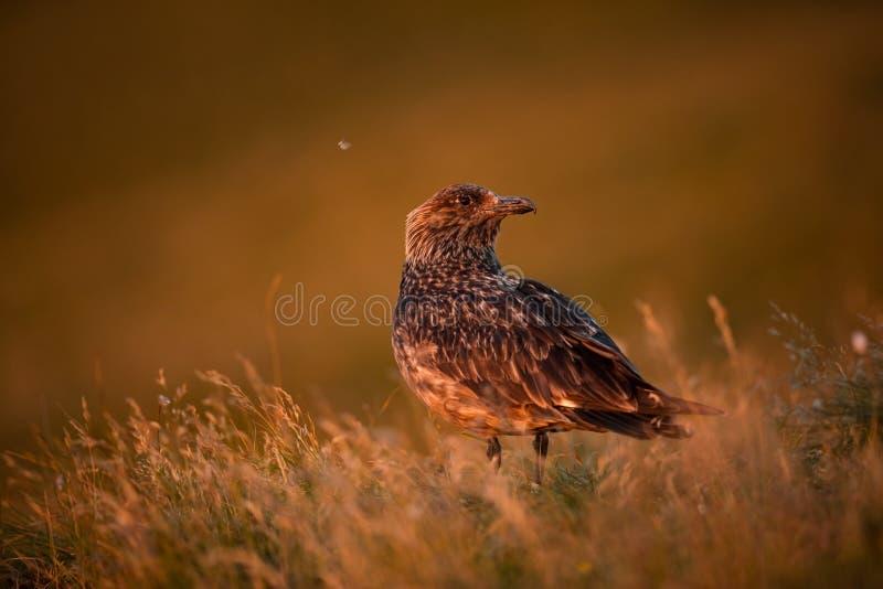 Stercorariusjager Rundeeiland Het wild van Noorwegen Mooi beeld Van het Leven van Vogels Vrije Aard Rundeeiland in Noorwegen stock afbeelding