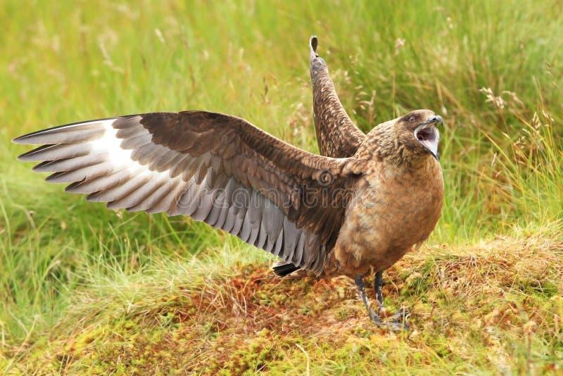 Stercorariuslabb stor fågel Taget i Norge Runde ö royaltyfri foto