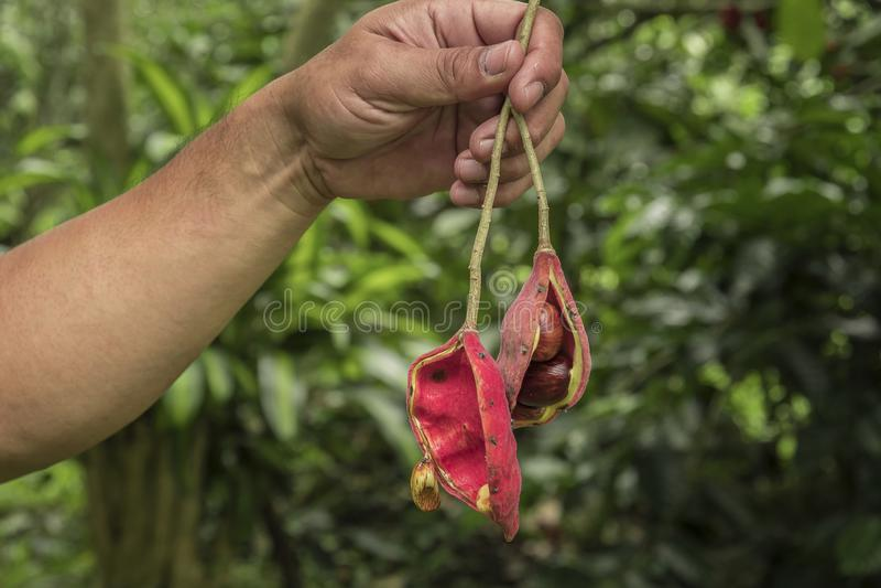 Sterculia monosperma, chinesische Kastanie, thail?ndische Kastanie stockfotos