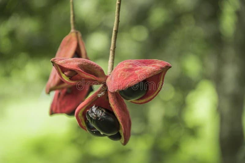 Sterculia monosperma, chinesische Kastanie, thail?ndische Kastanie stockfotografie