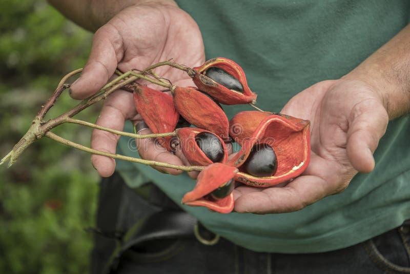 Sterculia monosperma, chinesische Kastanie, thail?ndische Kastanie lizenzfreie stockfotografie