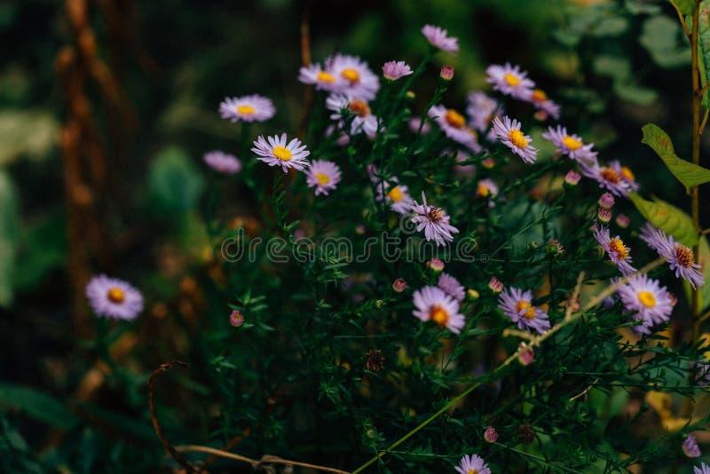 ?steres bonitos, close up do osteospermum no jardim imagens de stock royalty free
