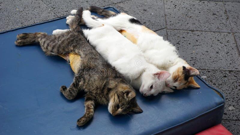 Steriliserade katter royaltyfria bilder