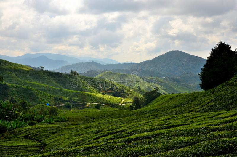 Sterke drank die groene gebieden van thee op heuvels in tropische toevlucht Cameron Highlands Malaysia rollen royalty-vrije stock fotografie