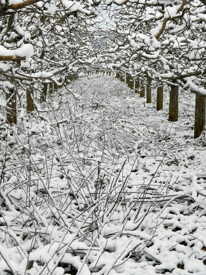 Sterke gesnoeide appelboomgaard onder de sneeuw stock foto