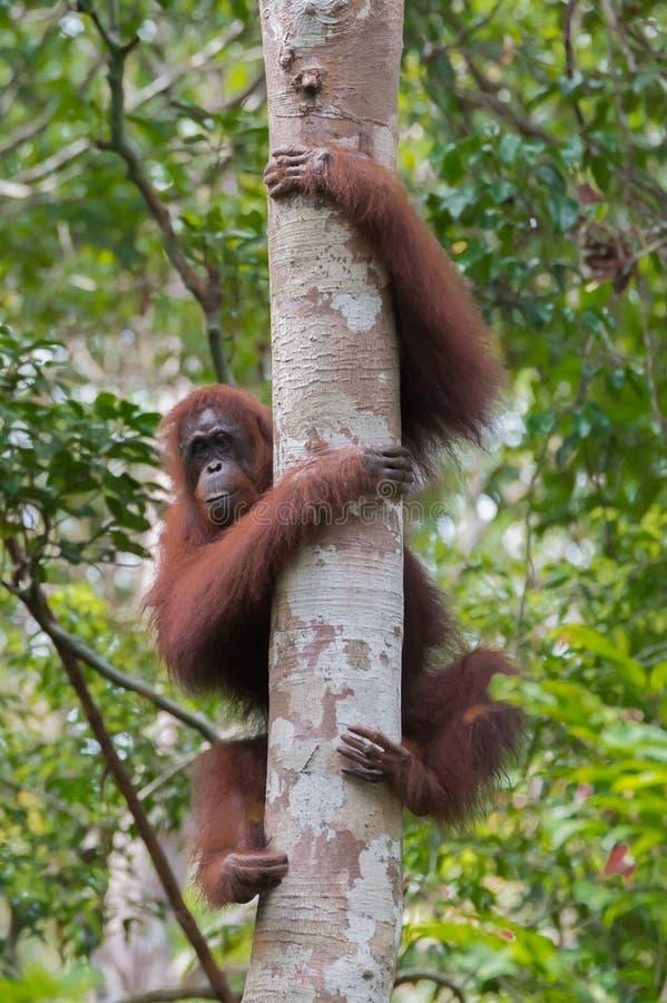 Sterke rode orangoetan gegrepen handen en voeten dikke boom op een rug royalty-vrije stock afbeeldingen
