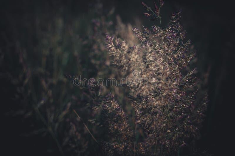 Sterke vage achtergrond van groene gebiedskruiden Groene aartjes op een donkere achtergrond royalty-vrije stock fotografie