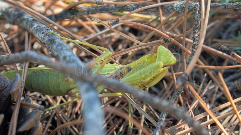 Sterke vrouwelijke Praying Mantis (Mantis religiosa) royalty-vrije stock foto