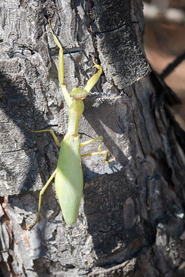 Sterke vrouwelijke Praying Mantis (Mantis religiosa) stock foto
