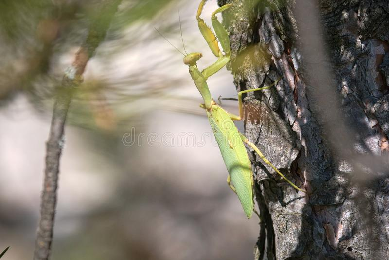 Sterke vrouwelijke Praying Mantis (Mantis religiosa) royalty-vrije stock afbeeldingen