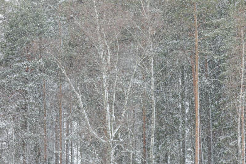 Sterke wind en zware sneeuwvalblizzard in bos royalty-vrije stock afbeelding