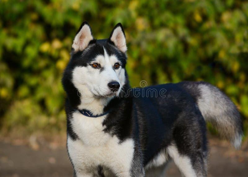 Sterke zwart-witte Siberische schor hond die zich op groene achtergrond bevinden stock fotografie