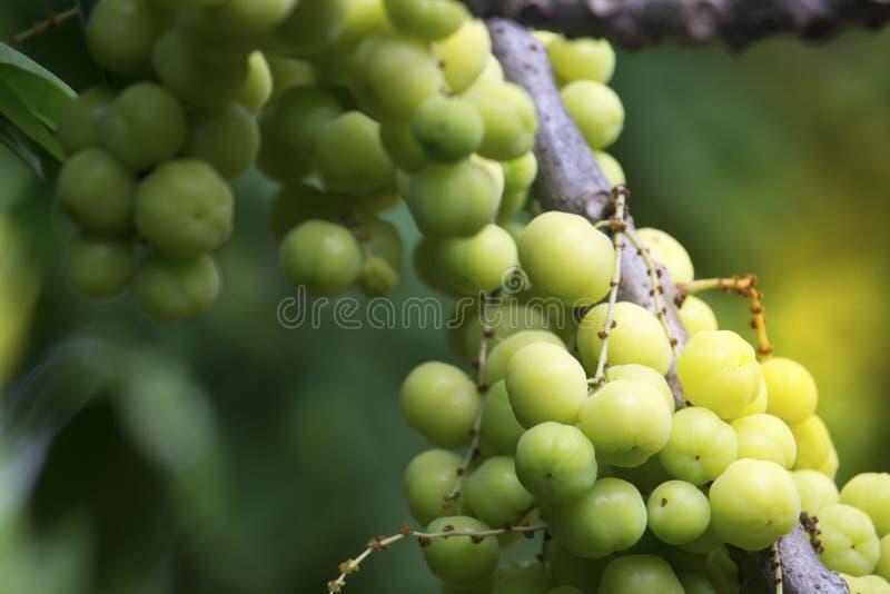 Sterkruisbes op de vruchten van de boomzomer met hoge vitamine C royalty-vrije stock foto's