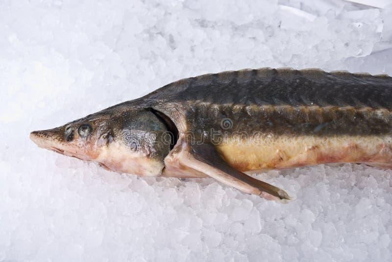 sterlet рыб стоковое фото