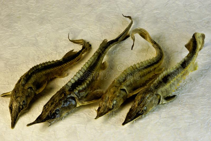 Sterlet is a valuable commercial fish of the sturgeon family stock image