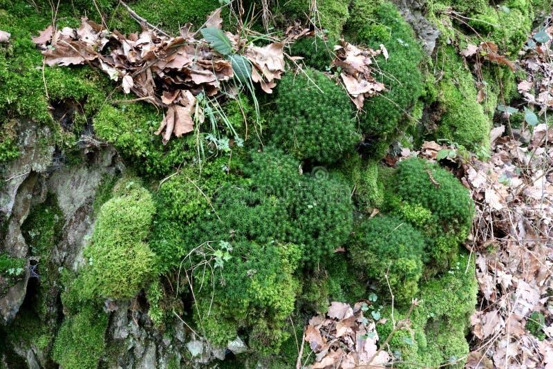 Stermos en het regelmatige mos groeien op een klip van de leirots stock fotografie