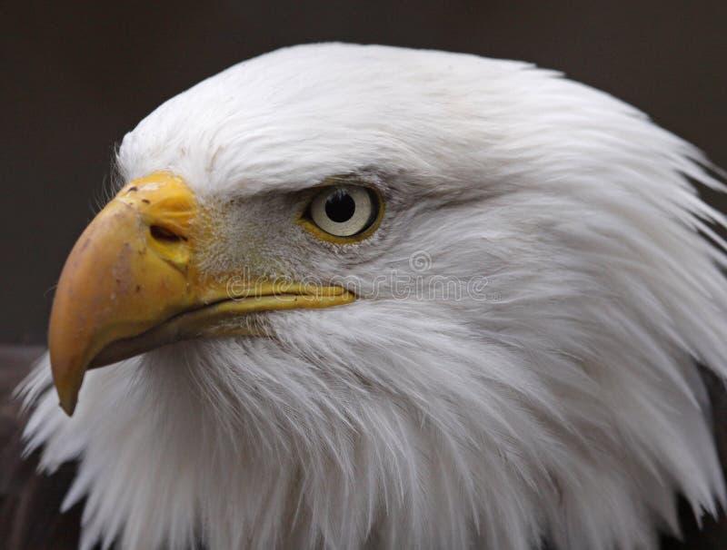 Download Stern Bald Eagle stock photo. Image of beak, face, eagles - 31511412