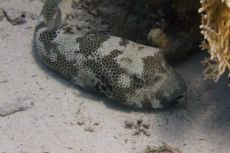 Stern-Puffer im Roten Meer lizenzfreies stockbild