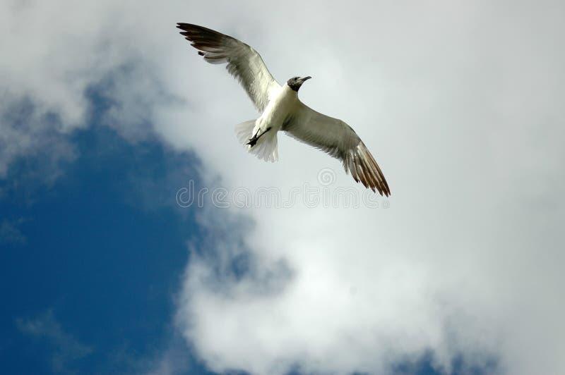 Download Sterna celestiale immagine stock. Immagine di piume, volo - 222893
