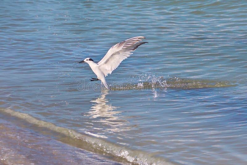 Sterna che spruzza nell'acqua dopo l'immersione immagine stock