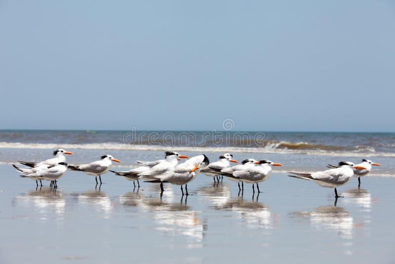 Sterna reale su una spiaggia immagini stock libere da diritti
