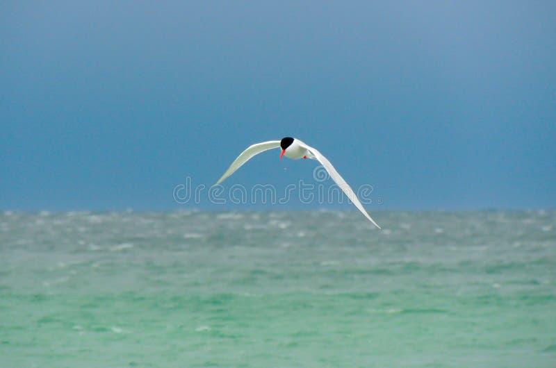 Sterna sudamericana sopra l'Atlantico Meridionale fotografia stock libera da diritti