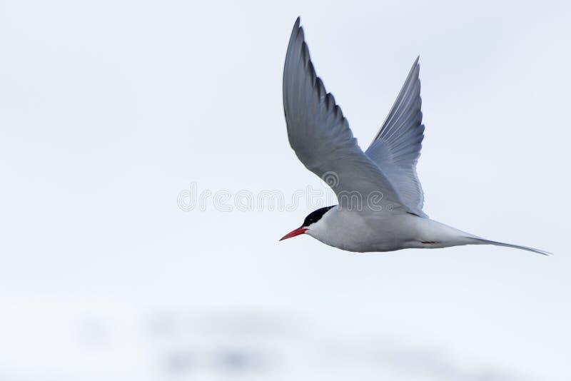 Sterne arctique avec les ailes écartées au-dessus de l'iceberg photographie stock libre de droits