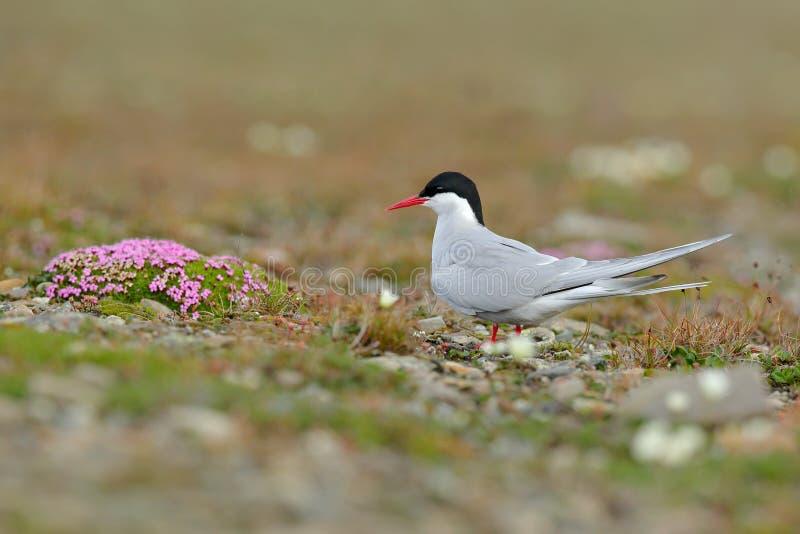 Sterne arctique, paradisaea de sternums, oiseau blanc avec le chapeau noir, avec le paysage arctique à l'arrière-plan, le Svalbar photos stock