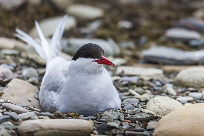 Sterne arctique se tenant près de son nid protégeant son oeuf contre le preda images libres de droits