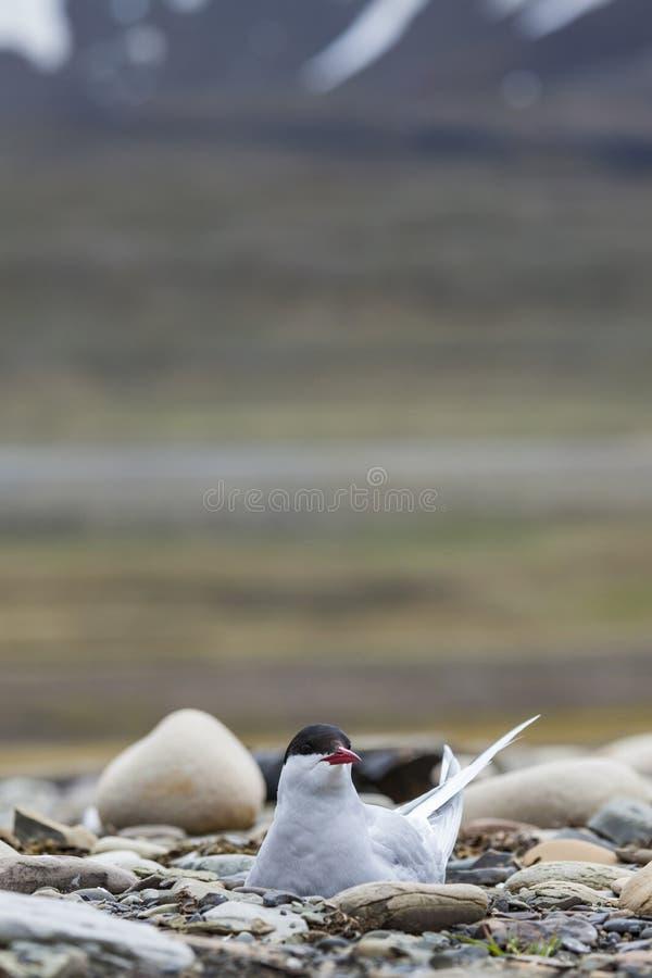 Sterne arctique se tenant près de son nid protégeant son oeuf contre le preda photographie stock