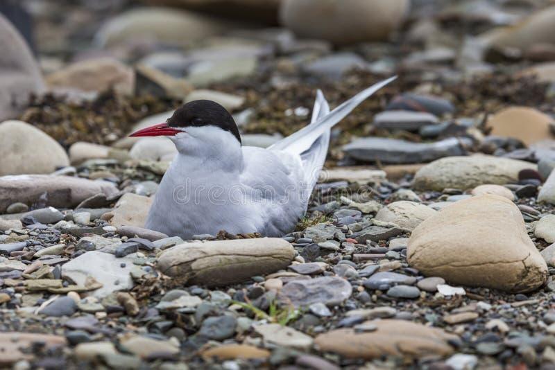 Sterne arctique se tenant près de son nid protégeant son oeuf contre le preda photo stock