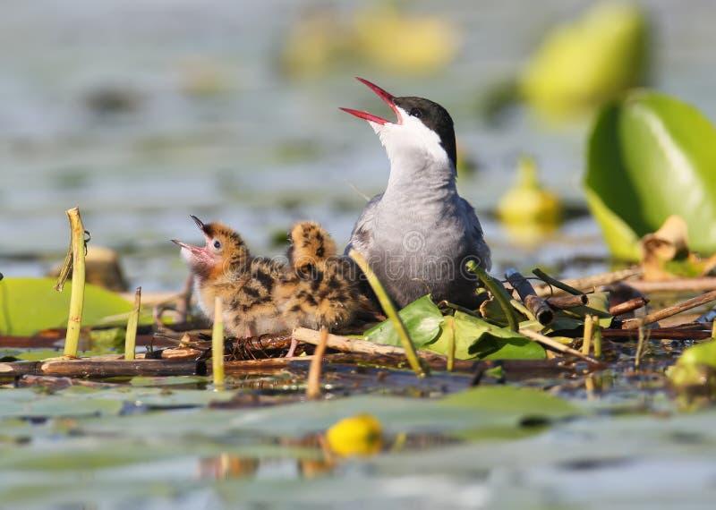 Sterne barbue de maman avec deux poussins mignons pour rencontrer leur père Lumière molle de matin sur le lac et la perspective p photos libres de droits