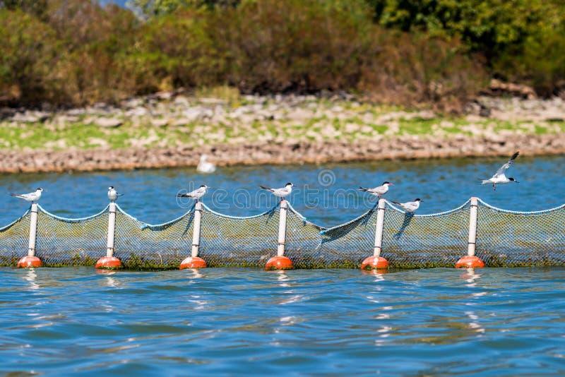 Sternen met bakkebaarden op een visnet bij Kerkini-Meer, Griekenland in September stock foto's