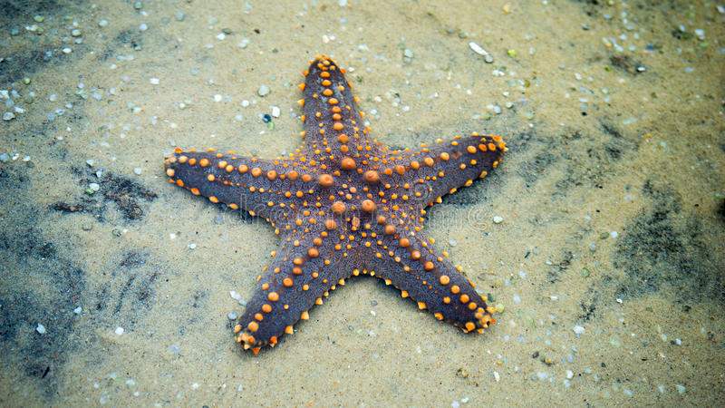 Sternfische auf einem Sand lizenzfreies stockfoto