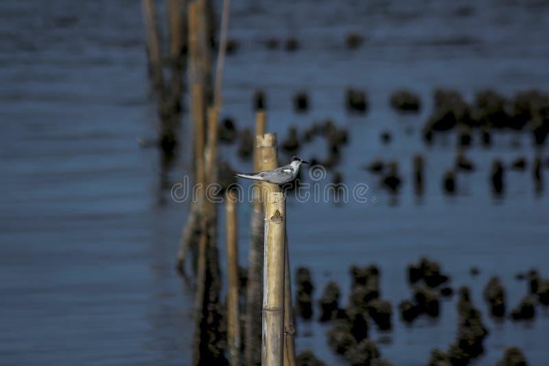 Sternidae is kleine zeevogels stock foto